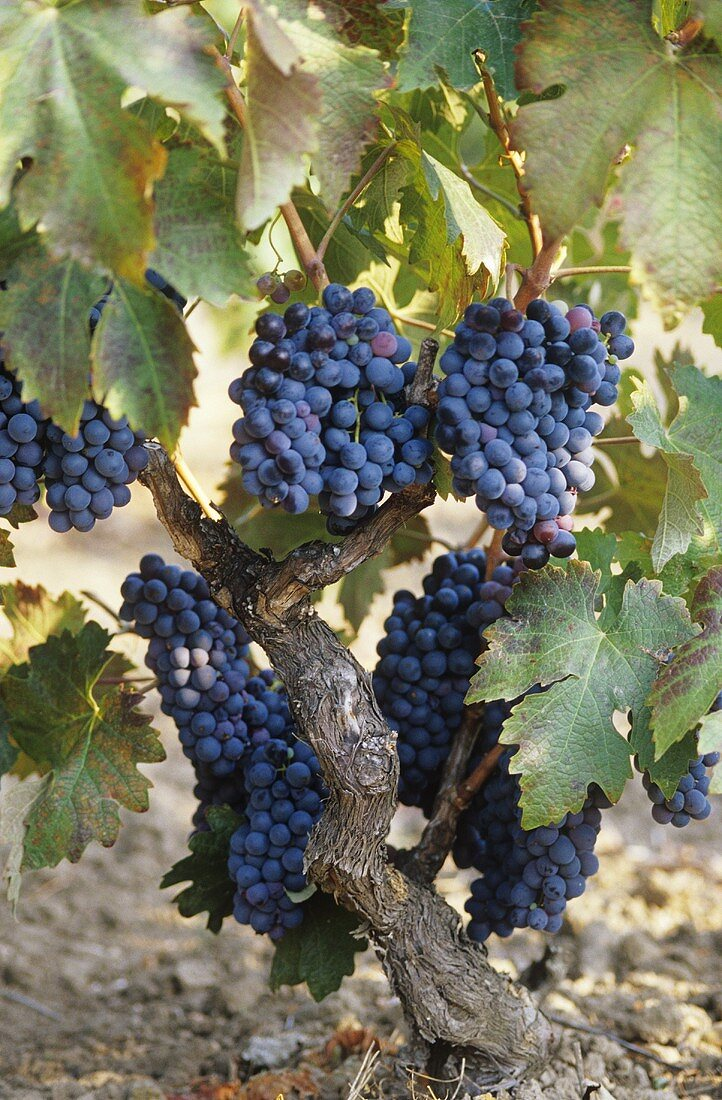 Primitivo grapes trained in albarello, Apulia, Italy