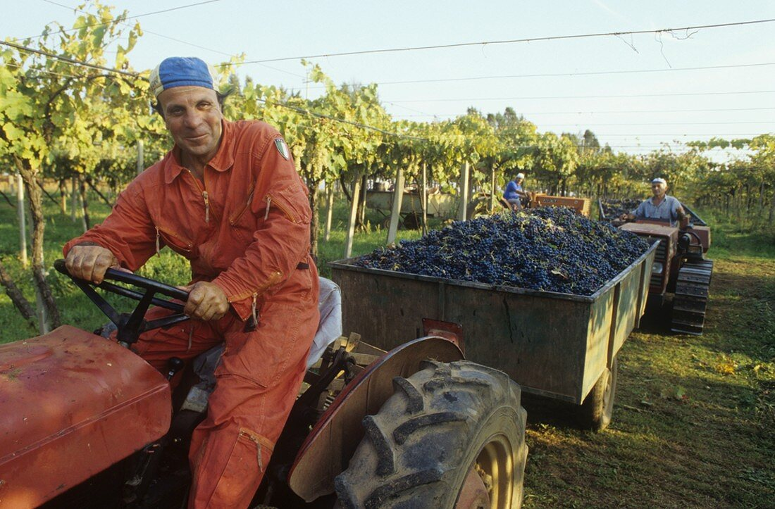 Grape-picking, Colli Etruschi Viterbesi DOC, Lazio, Italy