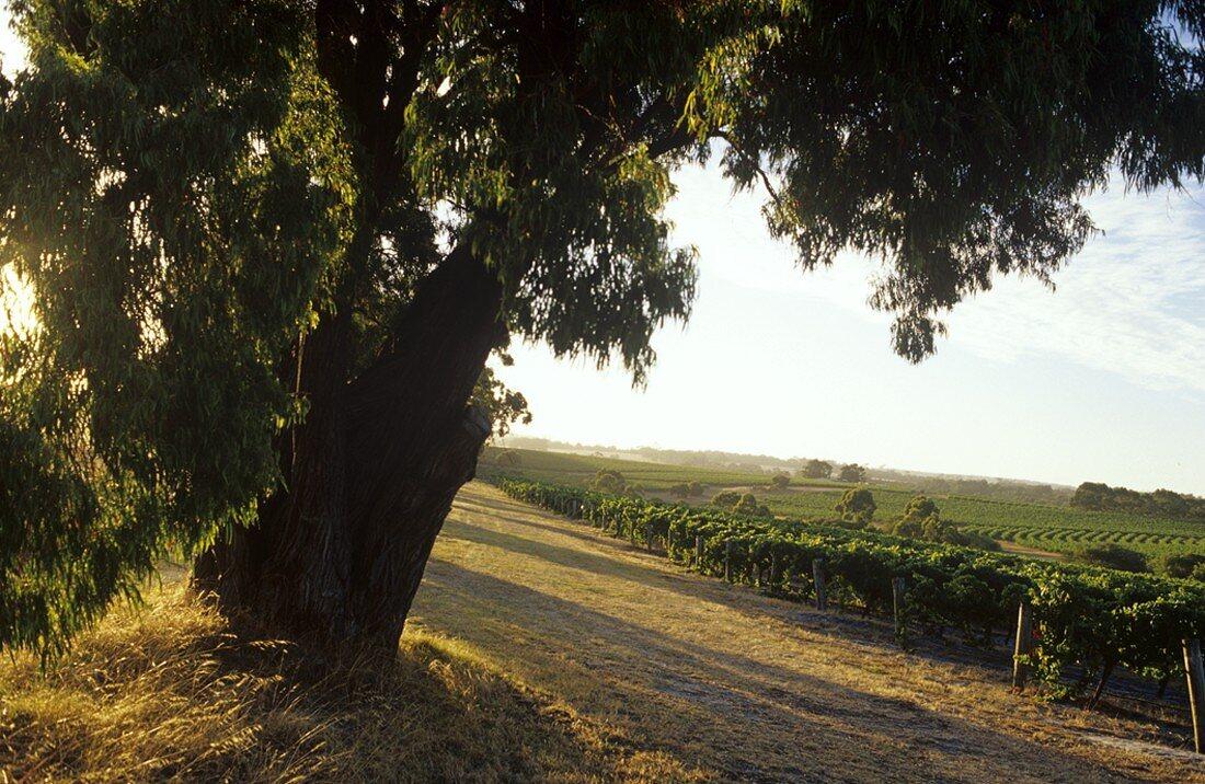 Vineyards & eucalyptus, Leeuwin Estate, Margaret River, W. Australia