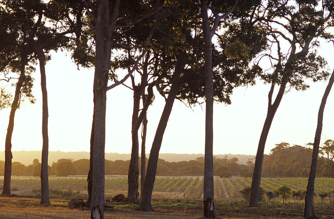 Typical vineyards with eucalyptus trees, Margaret River, Australia