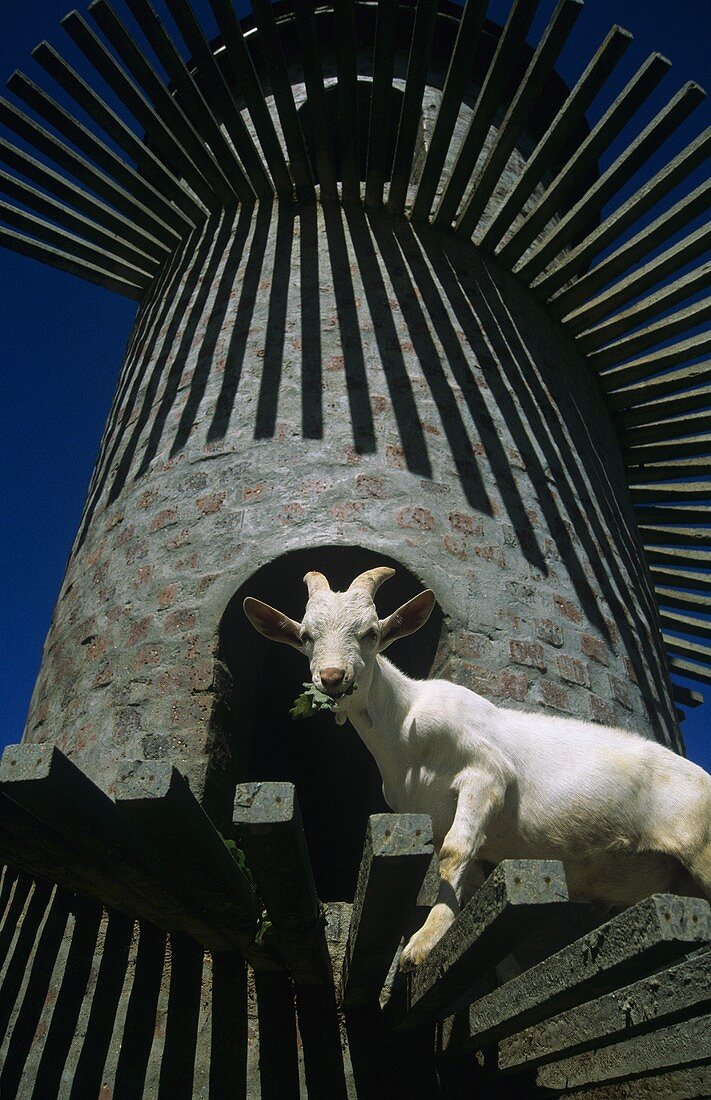 Fairview Estate, goat on 'Goat Tower', Paarl, S. Africa