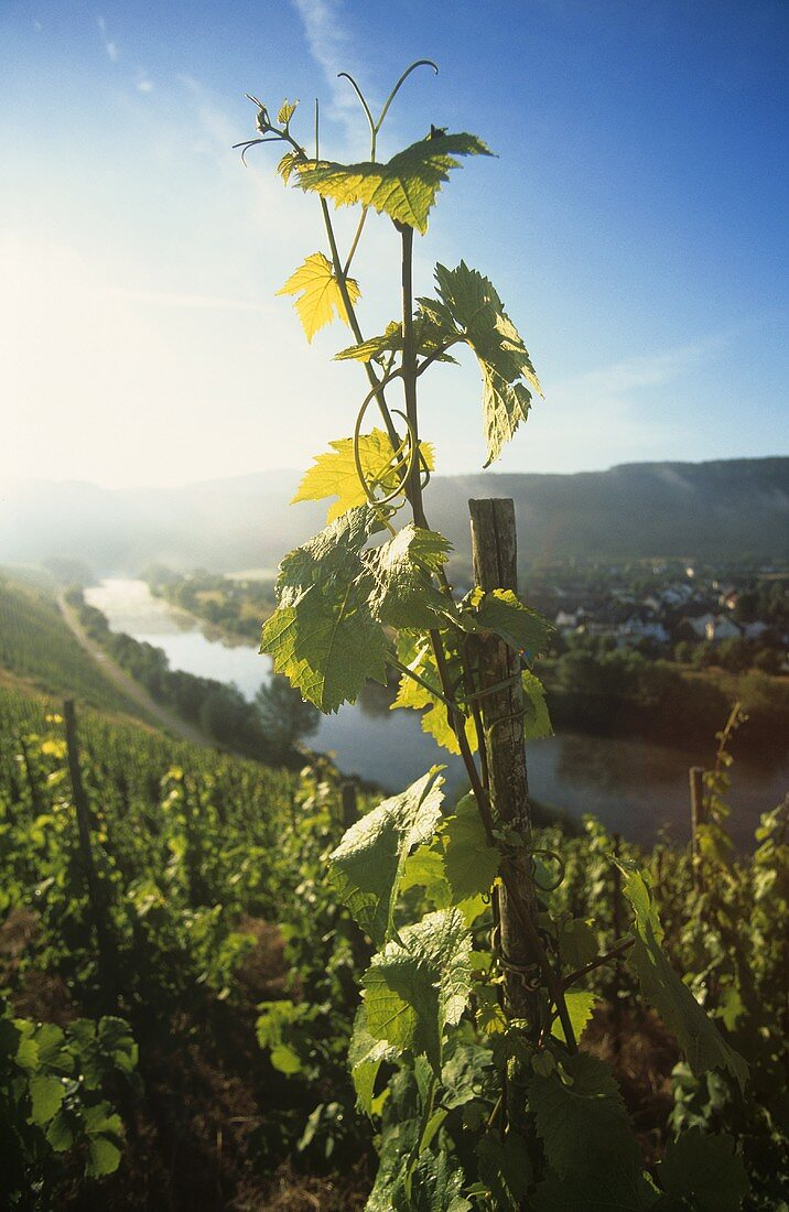 Vine at sunrise, Schoden, Mosel-Saar-Ruwer, Germany