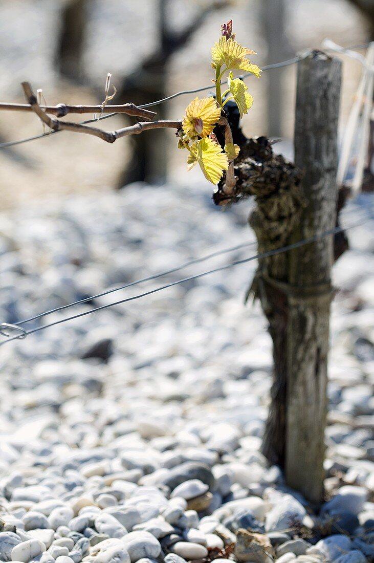 Old vine with shoots, terroir, Saint-Estèphe, Médoc, France