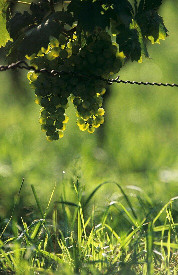 Kerner grapes hanging on the vine