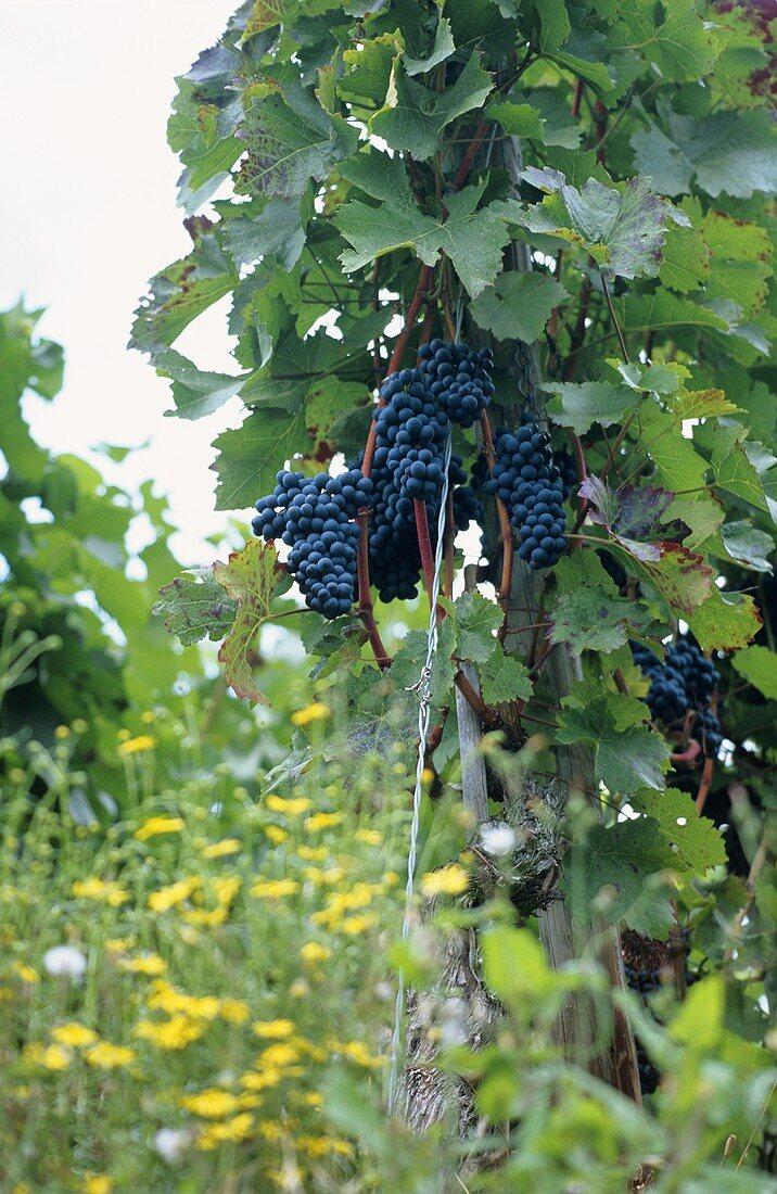Ecological vineyard, Spätburgunder grapes, Germany