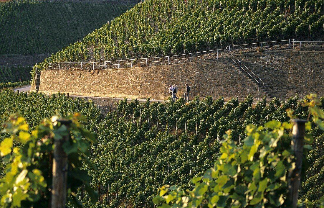 Hikers walking through vineyards, 'Dernauer Pfarrwingert', Ahr