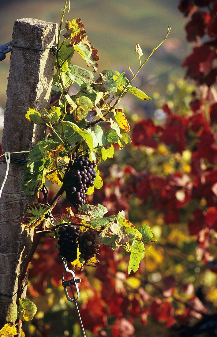 Autumn in vineyard near Durbach, Ortenau, Baden