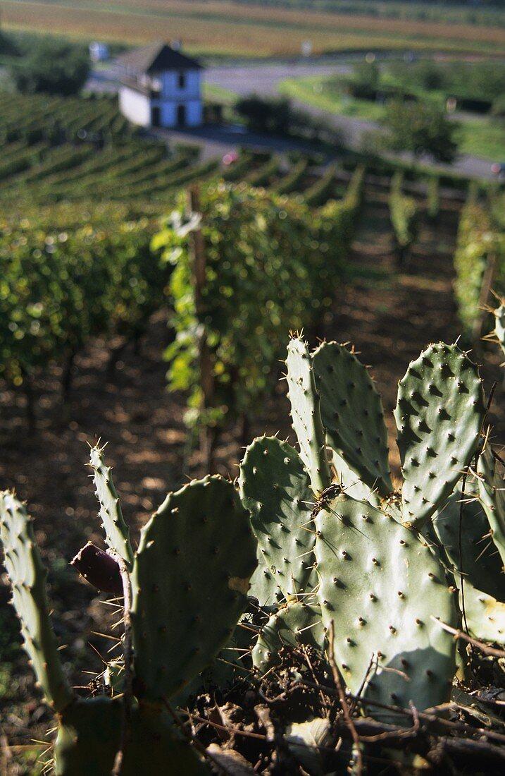 Cacti, 'Ihringer Winklerberg', warmest vineyard location in Germany