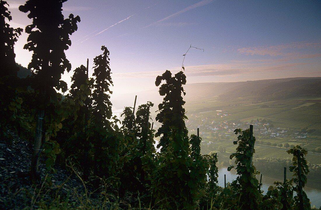 'Erdener Prälat' Einzellage with view of Lösnich, Mosel, Germany