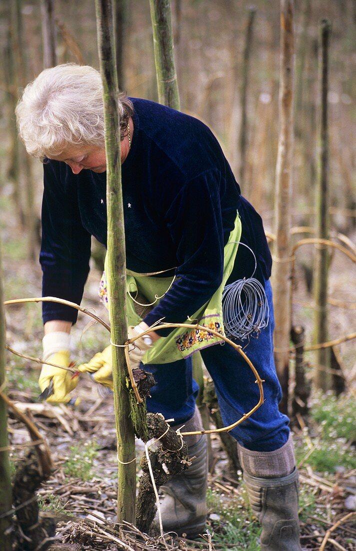 Woman tying in vines in the Ganzbogen (whole bow) style, Mosel, DE