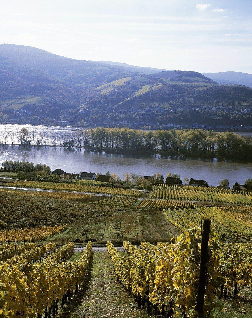 Vineyard with view of the Rhine, Rheingau, Germany