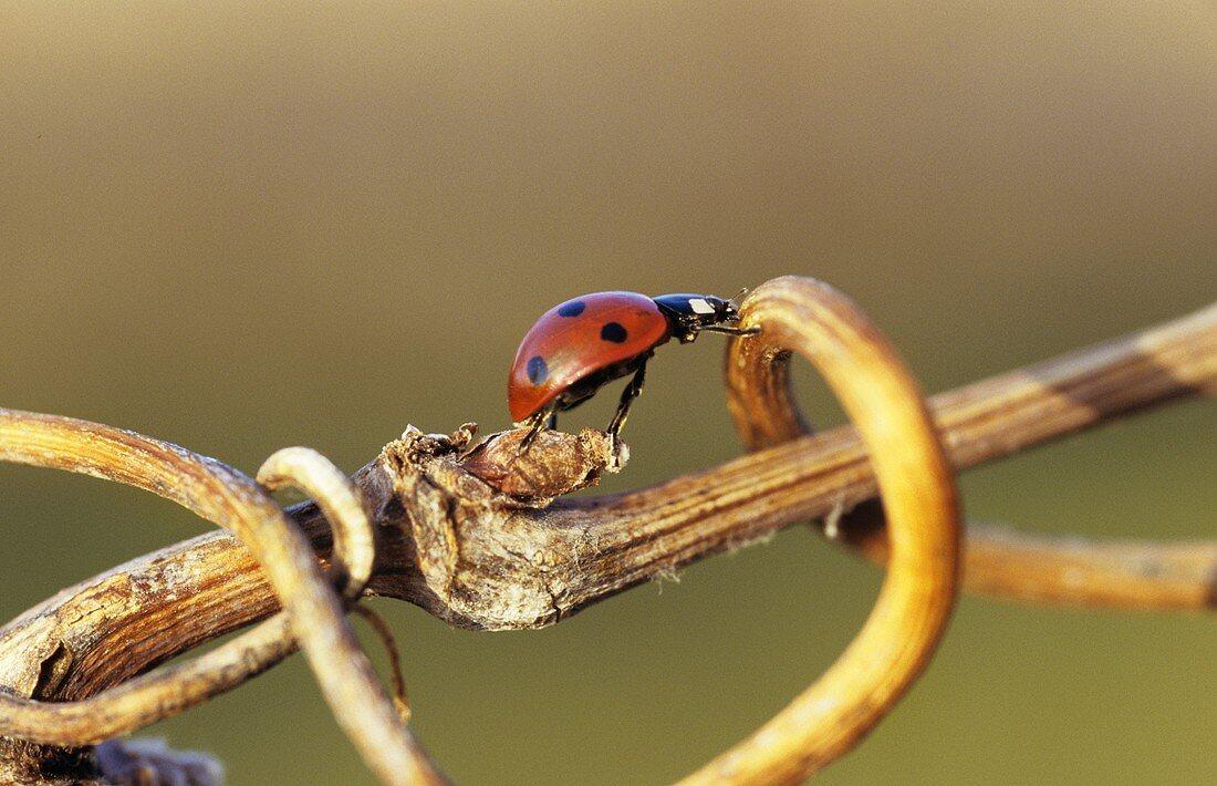 Ladybird on a vine tendril