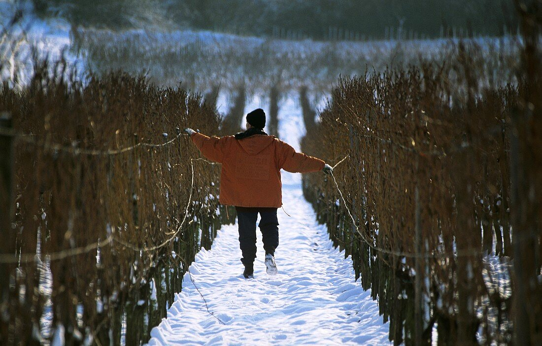 Winterarbeiten im Weinberg, Drähte aushängen
