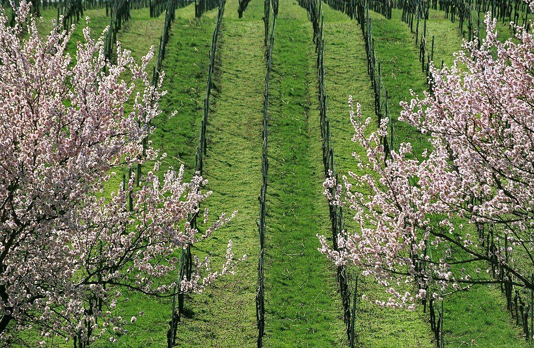 Rows of vines with flowering almond trees, Siebeldingen, Palatinate