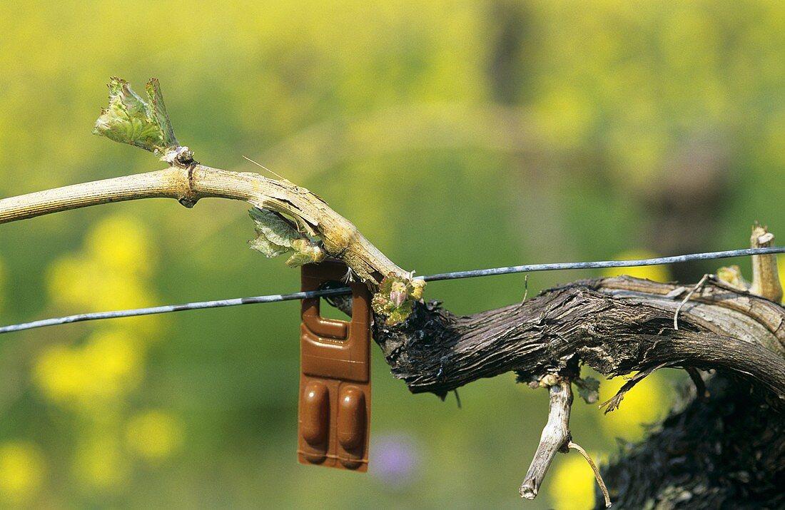 Pheromone ampoule, method of deterring the grape vine moth