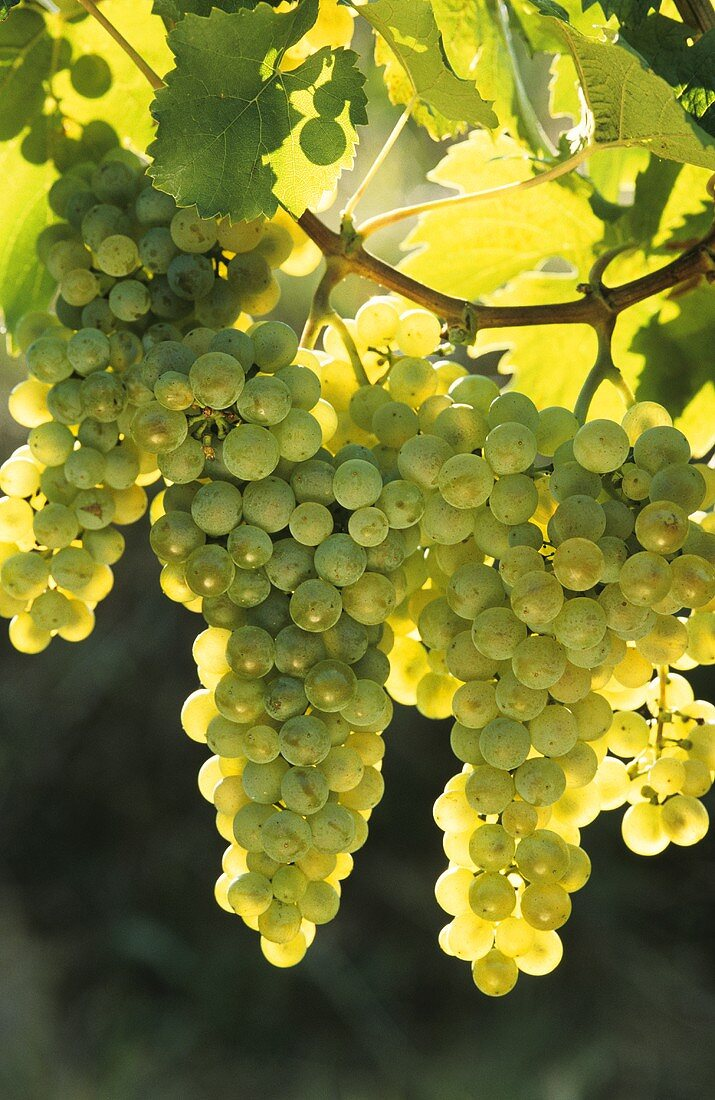 Müller-Thurgau (Rivaner) grapes hanging on the vine