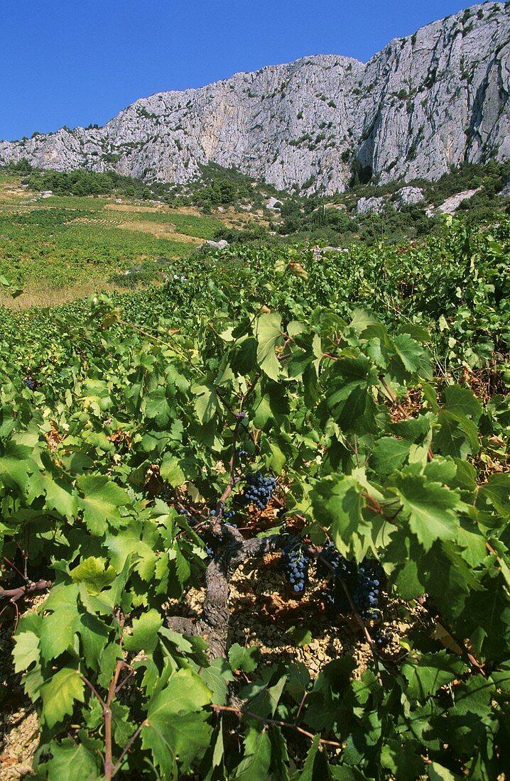 Old vines of indigenous grape variety Plavac, Sveta Nedelja, Hvar, Croatia
