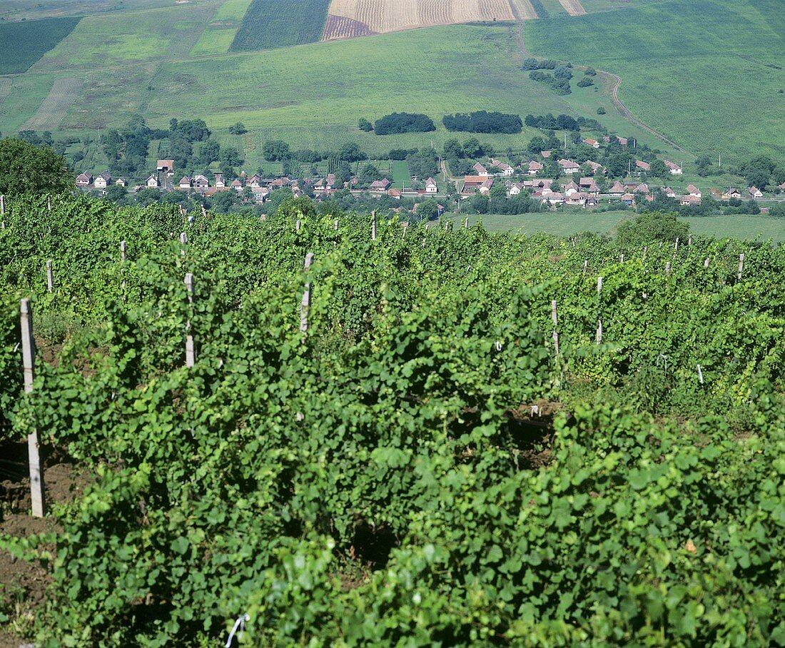 Vines belonging to Jidvei Cellars, Romania