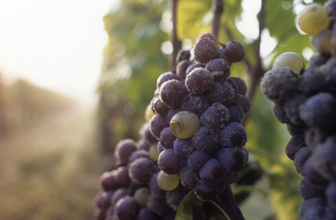 Semillon grapes with noble rot, Sauternes, France