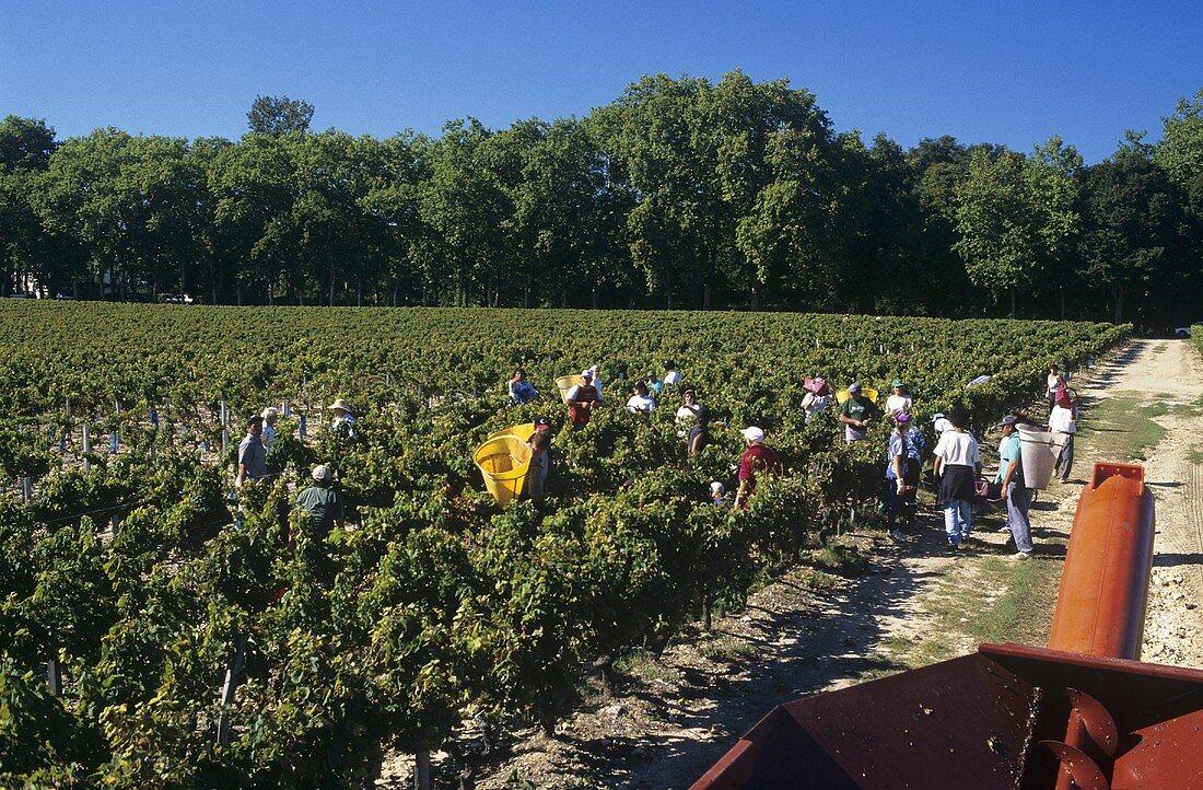 Grape-picking, Château Bouscaut, Pessac-Leognan, Graves, France