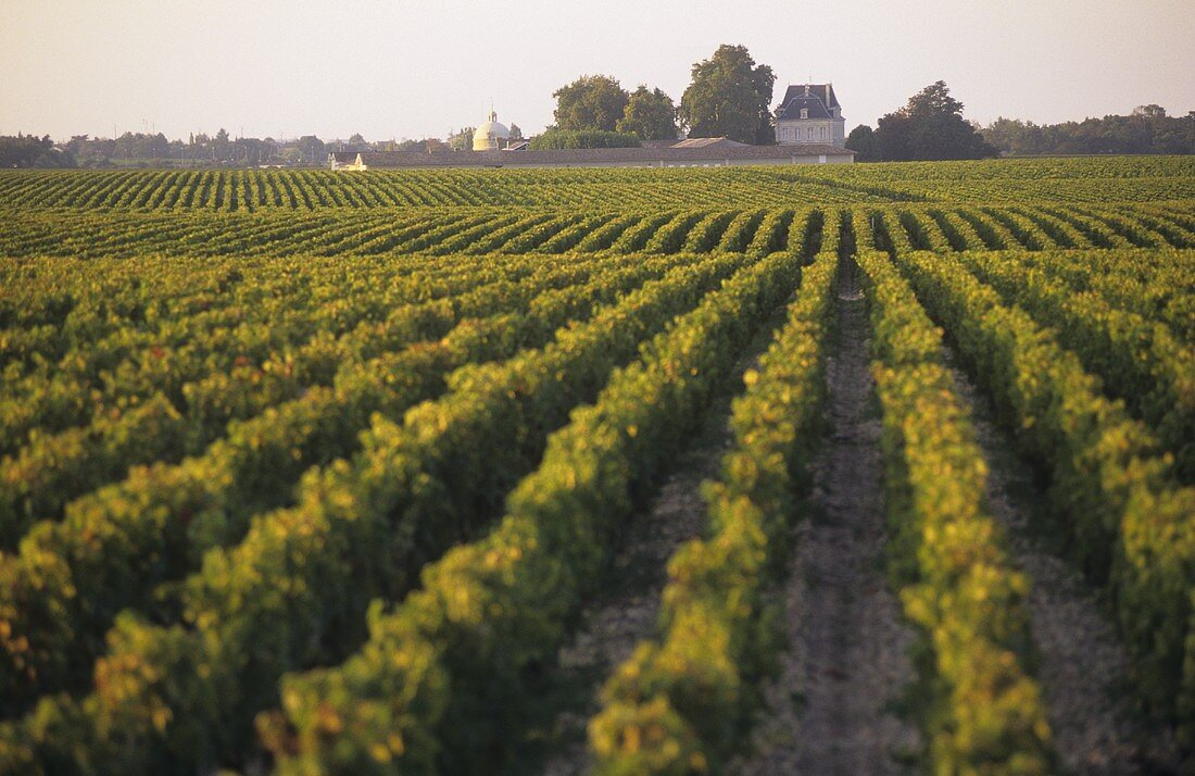 Vineyard of Chateau Margaux, Medoc, France