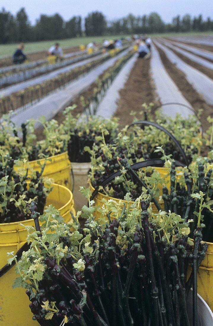 Planting vines, Belvedere Estate (Antinori), Bolgheri, Italy