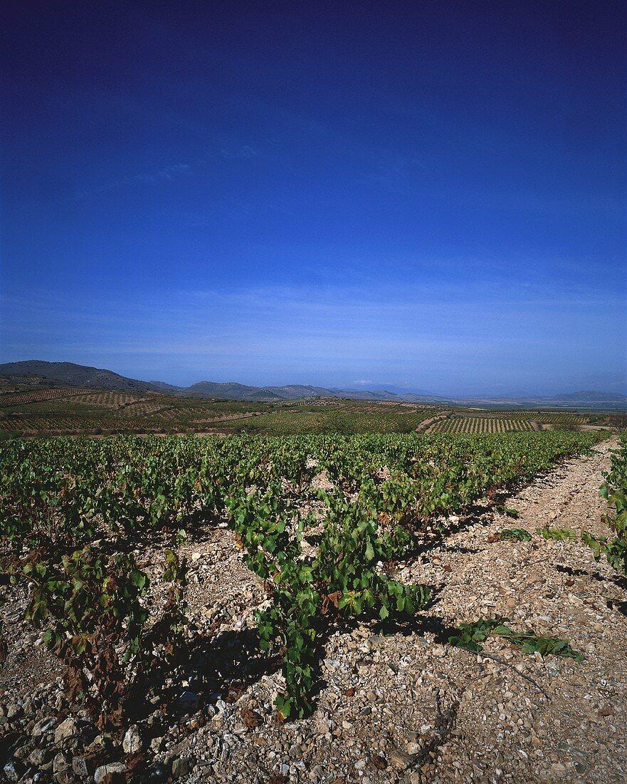 Vineyard near Almonacid de la Sierra, Zaragoza, Aragon, Spain