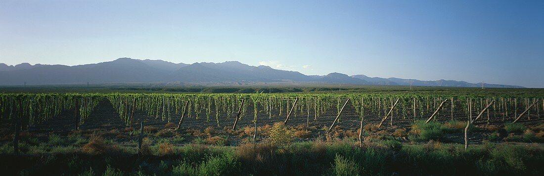 Vineyard, Luján de Cuyo, Mendoza, Argentina