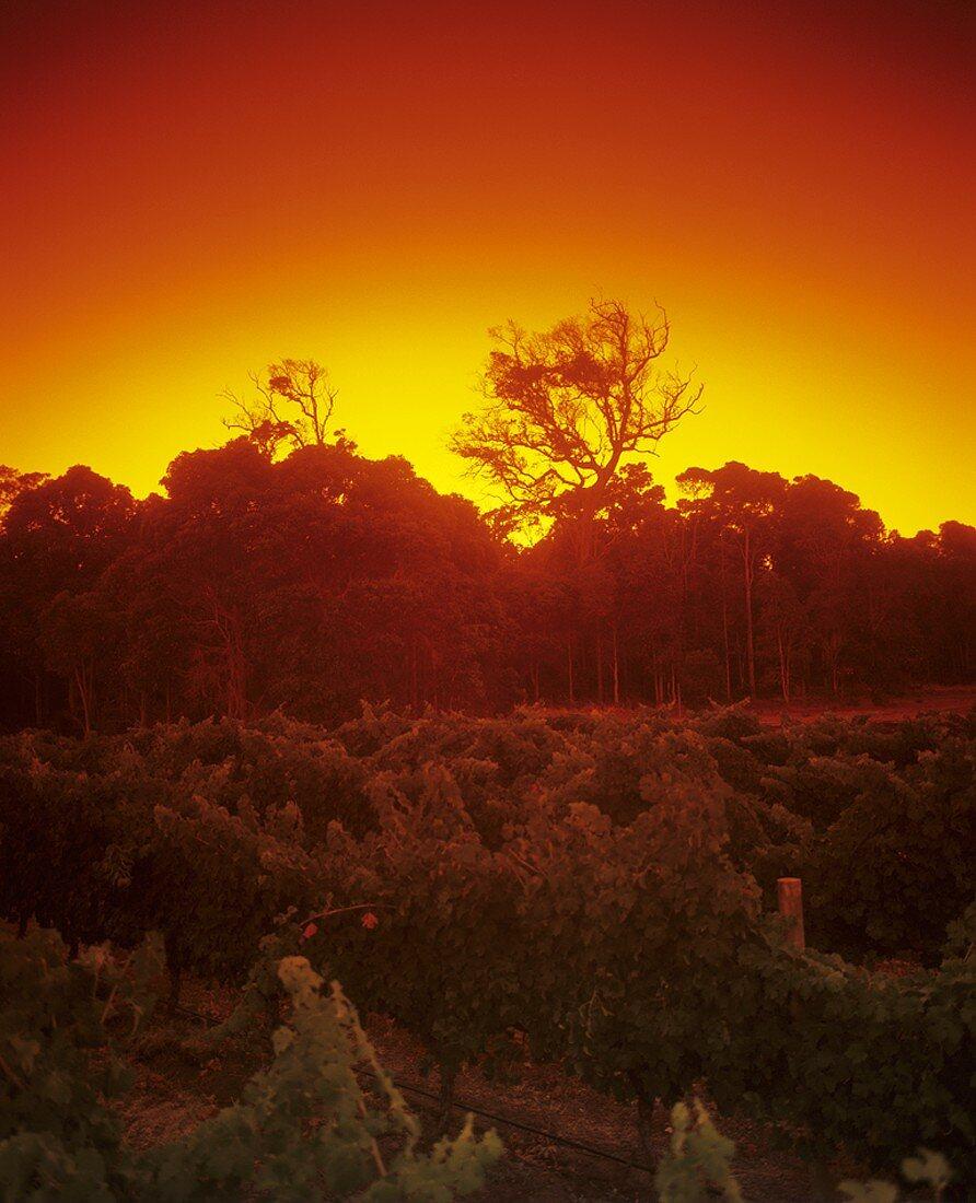 Cape Mentelle vineyard, Margaret River, W. Australia