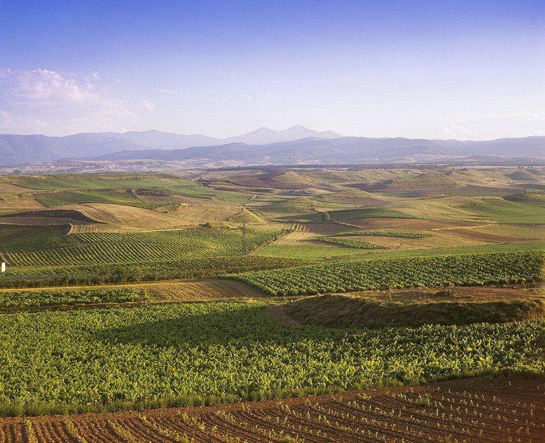 Wine growing near Valdepeñas, Spain