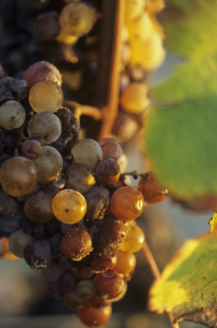 Semillon grapes with botrytis fungus, Sauternes