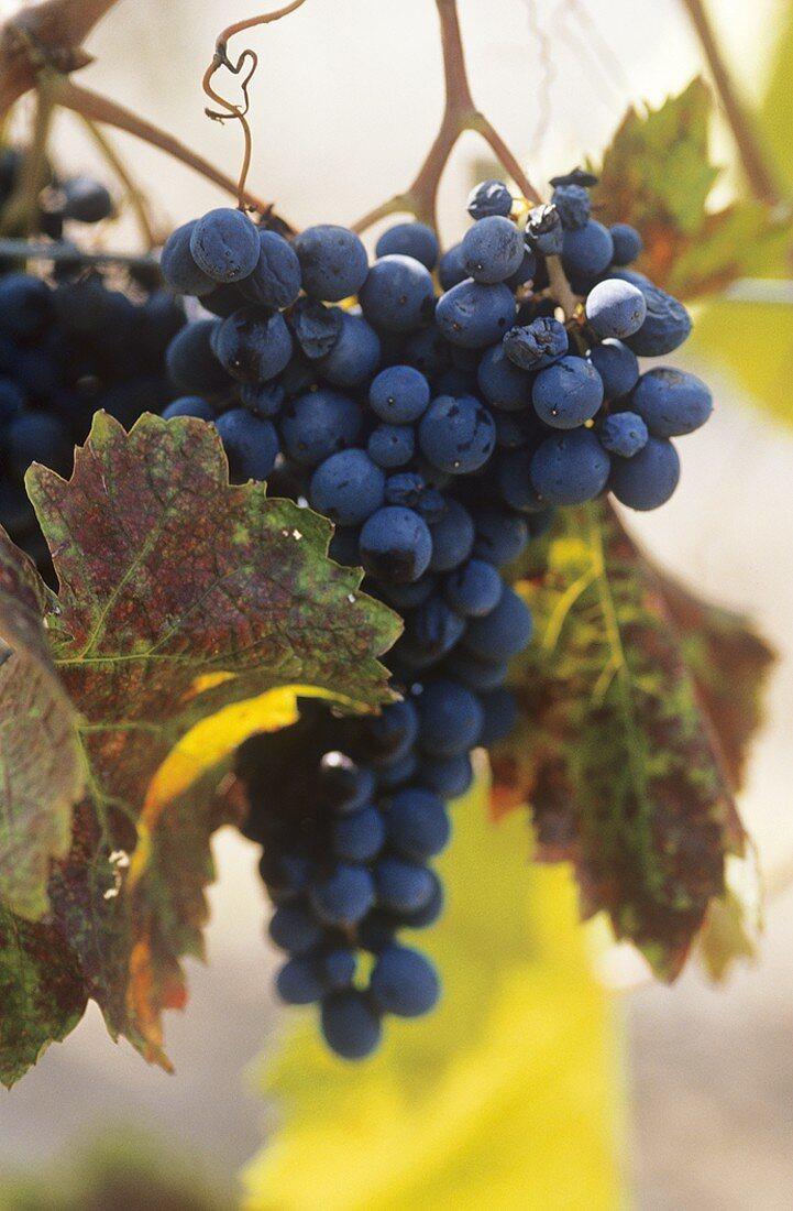 Nero d'Avola grapes on the vine