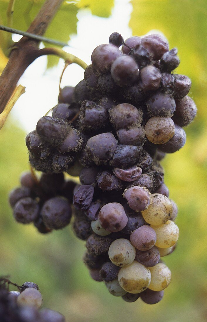 Semillon grapes with botrytis fungus, Sauternes, France