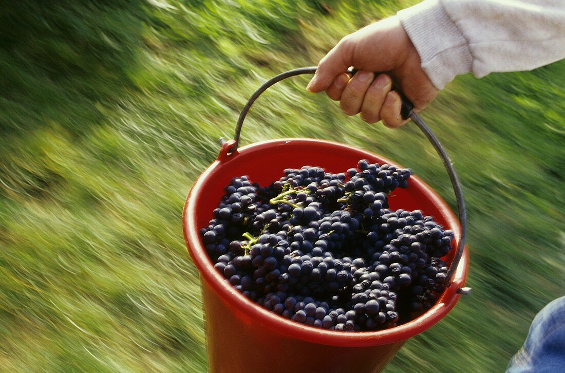 Grape-picker carrying bucket of Blauburgunder grapes