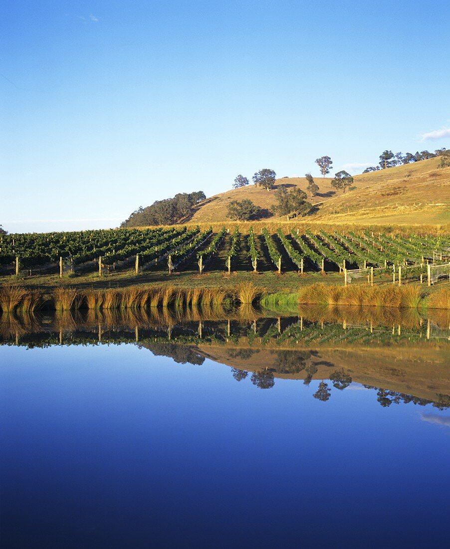 Vineyard of Yarra Ridge Winery, Yarra Valley, Australia