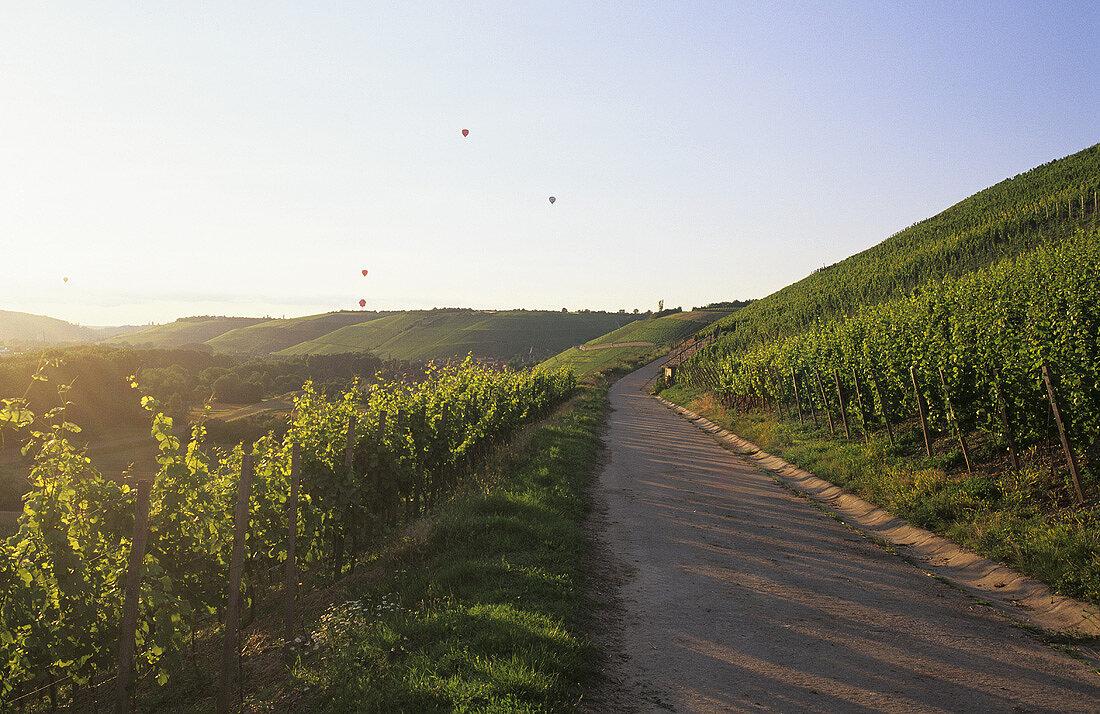 Wine-growing near Randersacker, Franconia, Germany