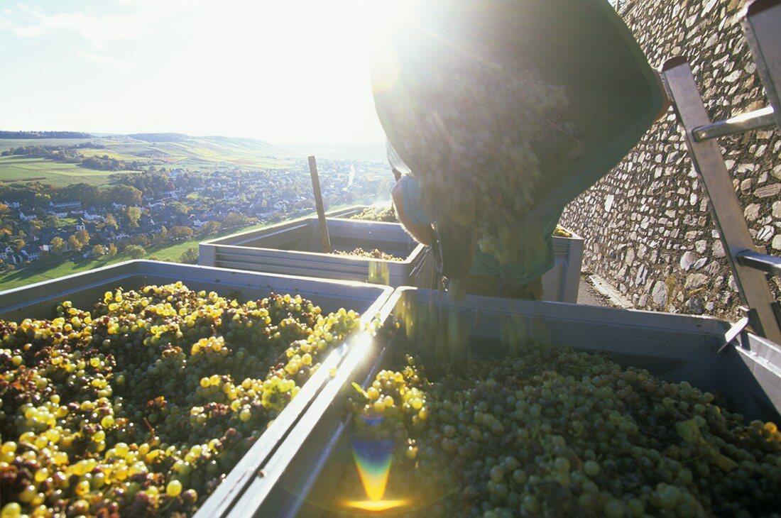 Grape-picking in Mosel wine region, Rhineland-Palatinate, Germany
