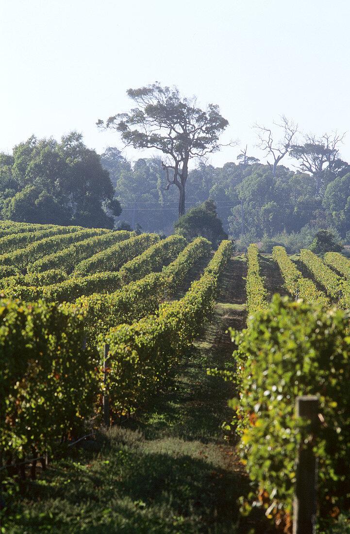 Vineyards of Cape Mentelle Estate, Margaret River, Australia