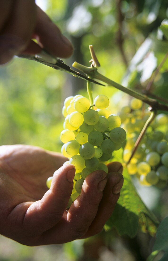 Picking 'Altenahrer Eck' Riesling grapes, Altenahr, Ahrtal, DE