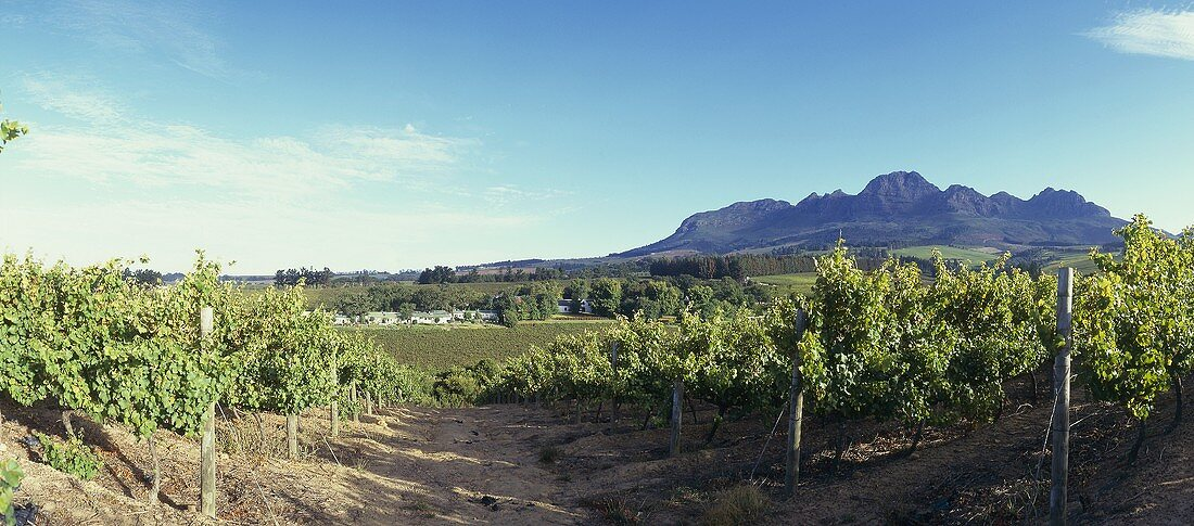 Vineyard of Rust en Vrede Estate, Stellenbosch, S. Africa