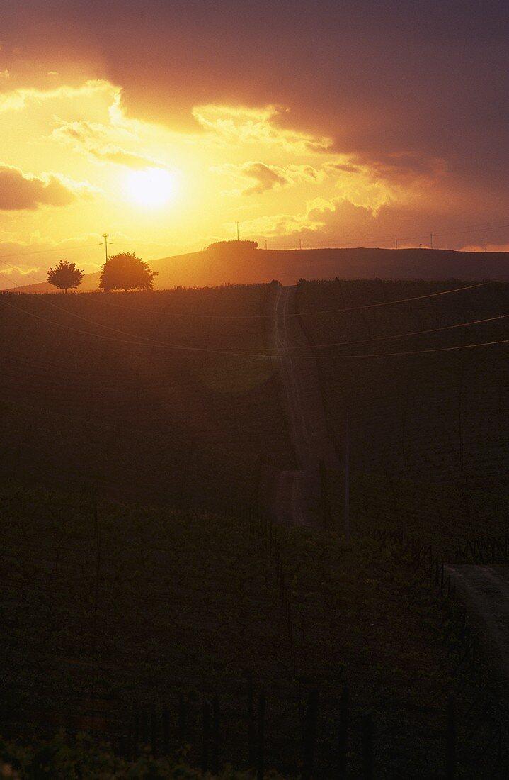 Sunset over vineyard, Alto Douro, Portugal