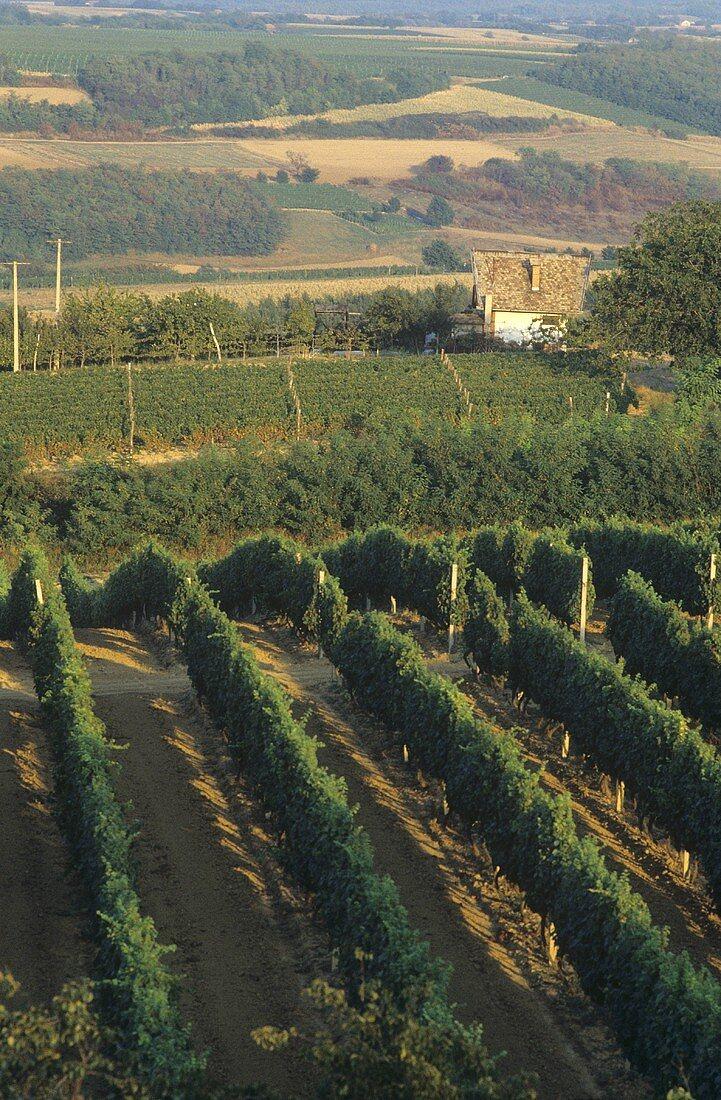Vineyard of Ilok Winery, Ilok (most easterly town in Croatia)