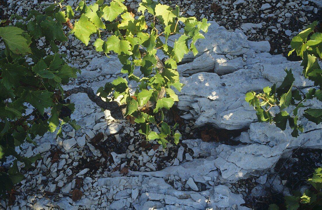 Growing the red wine grape 'Babic', Sibenik, Croatia