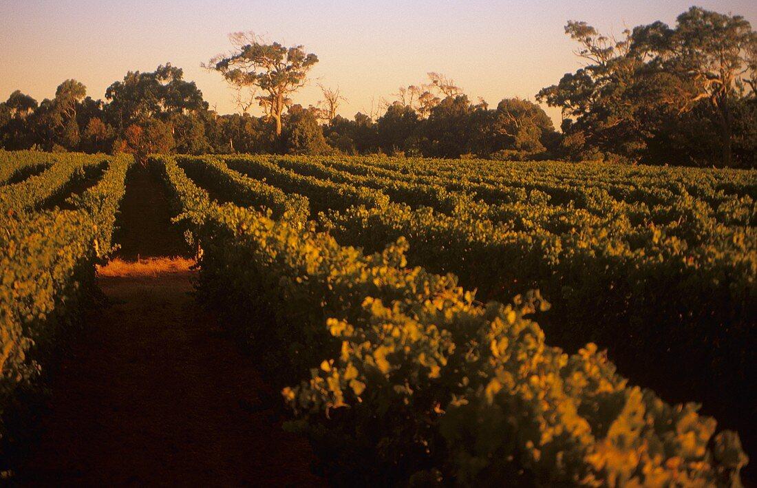 Cape Mentelle Vineyard, Margaret River, Australia