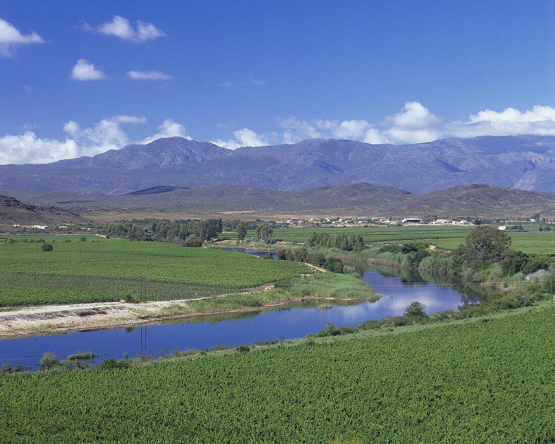 Vineyard near Robertson,  S. Africa