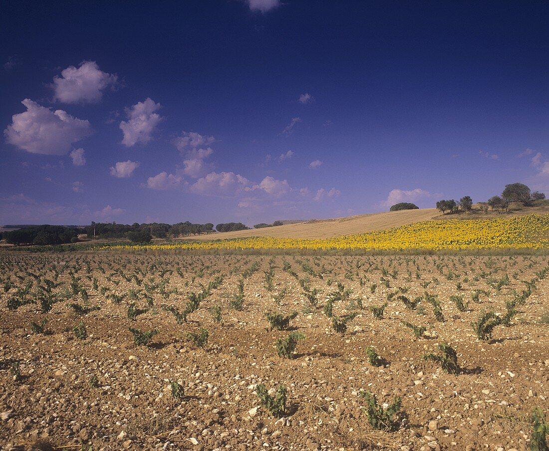 Vineyards near Valdezate,  Ribera del Duero,  Spain