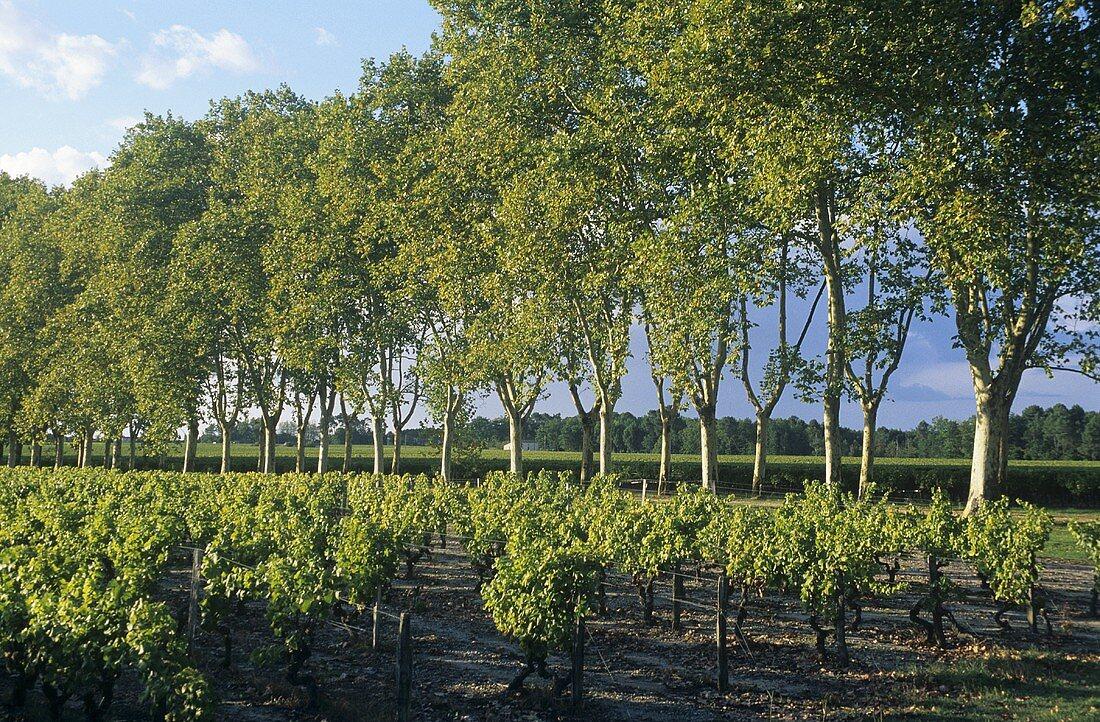 Wine-growing near Sauternes, Bordeaux, France