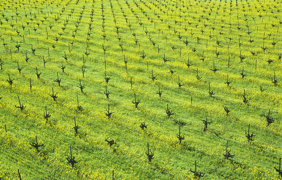 Ecological viticulture (mustard flowers between rows of vines)
