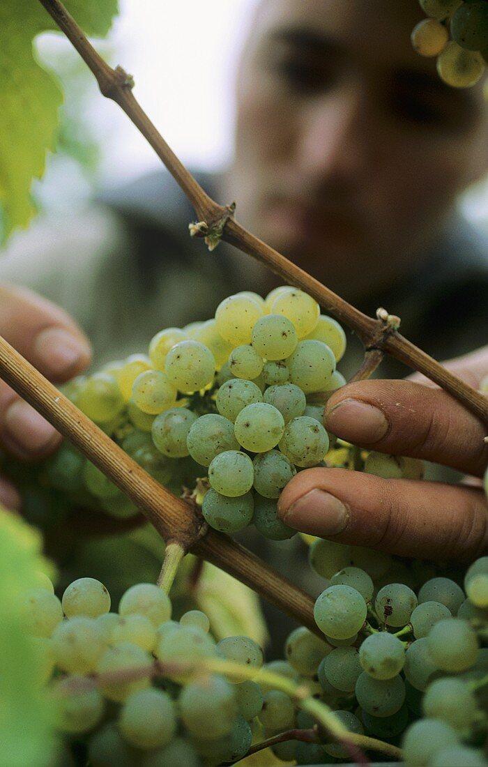 Man examining Riesling grapes