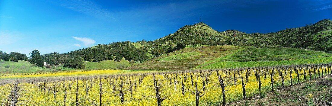 Flowering charlock, Shafer, Napa Valley, California, USA